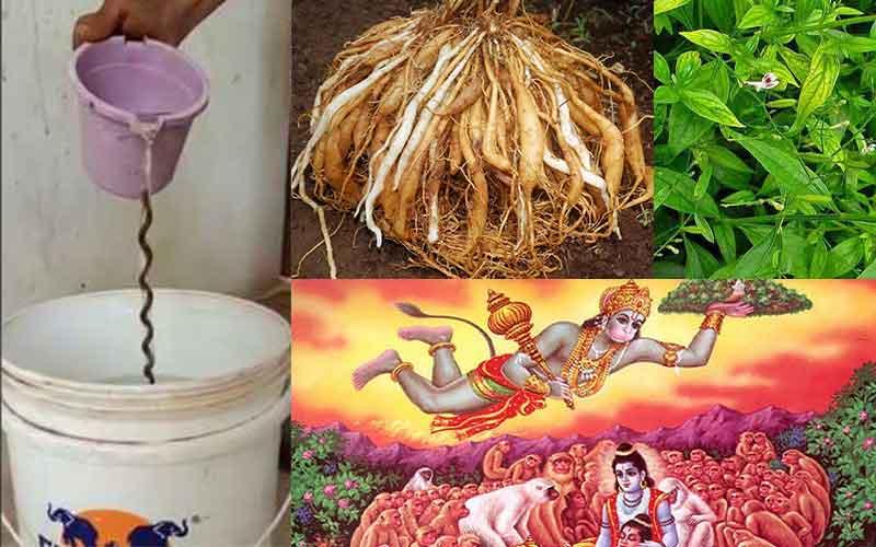 Sanjeevi root